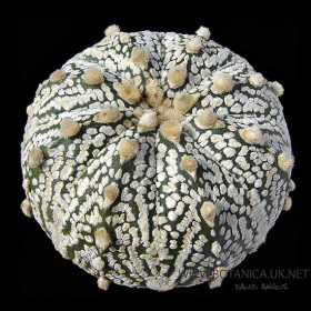 Astrophytum asterias kabuto