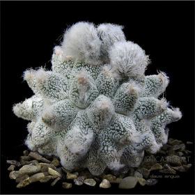 Astrophytum cv