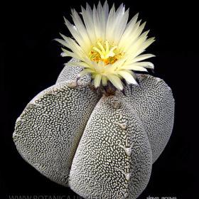 Astrophytum myriostigma onzuka